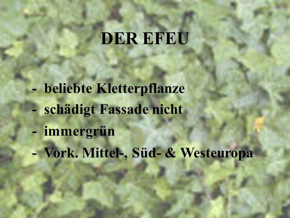 DER EFEU - lat. hedera helix - Heilpflanze - hohe Verträglichkeit - Verwendung in Kindermedizin