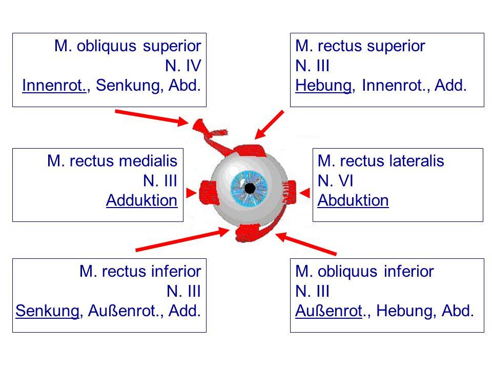 M. rectus lateralis N. VI Abduktion M. rectus superior N. III Hebung, Innenrot., Add. M. obliquus superior N. IV Innenrot., Senkung, Abd. M. rectus me