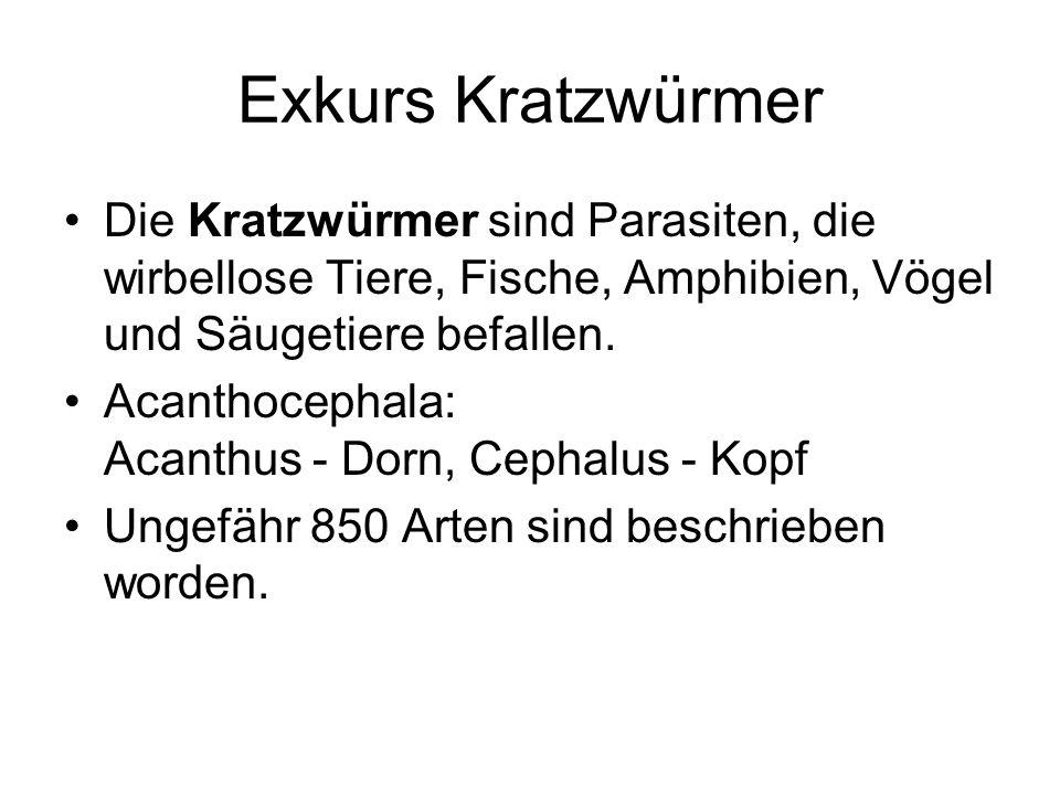 Exkurs Kratzwürmer Die Kratzwürmer sind Parasiten, die wirbellose Tiere, Fische, Amphibien, Vögel und Säugetiere befallen. Acanthocephala: Acanthus -