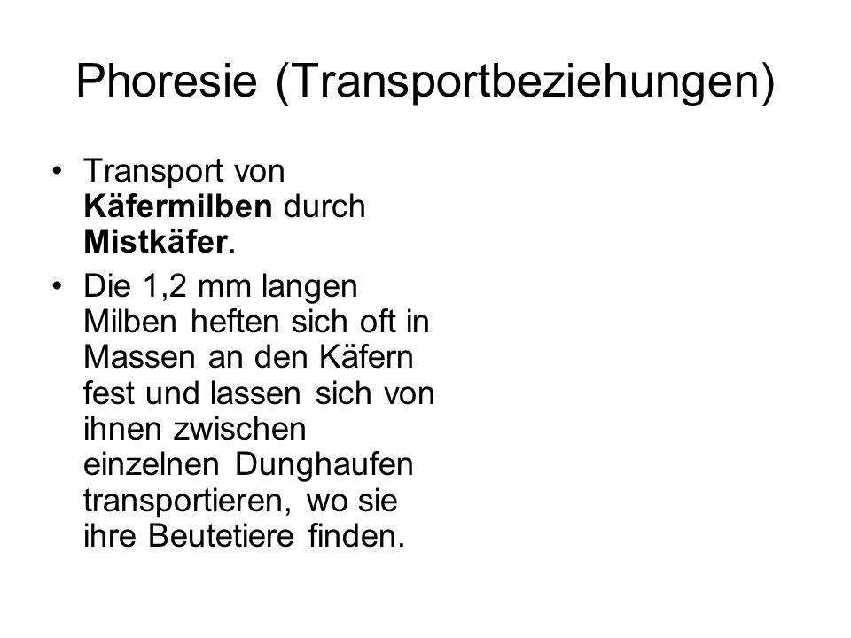 Phoresie (Transportbeziehungen) Transport von Käfermilben durch Mistkäfer. Die 1,2 mm langen Milben heften sich oft in Massen an den Käfern fest und l