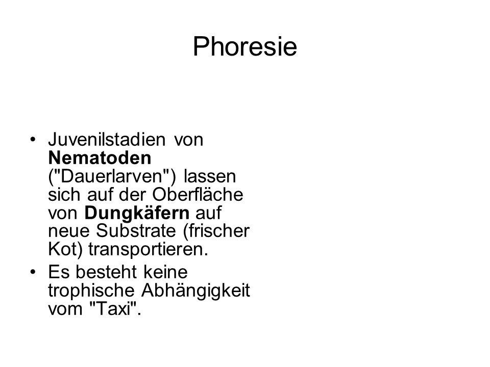 Phoresie Juvenilstadien von Nematoden (
