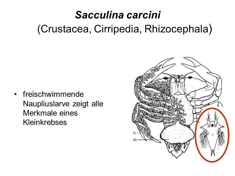 Sacculina carcini (Crustacea, Cirripedia, Rhizocephala ) freischwimmende Naupliuslarve zeigt alle Merkmale eines Kleinkrebses