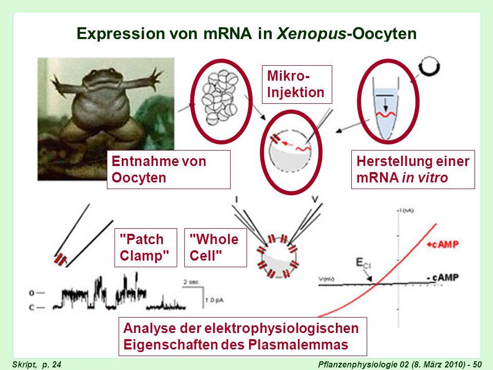 Pflanzenphysiologie 02 (8. März 2010) - 50 Expression von mRNA in Xenopus-Oocyten Expression von mRNA in Xenopus-Oocyten (2) Skript, p. 24 Entnahme vo