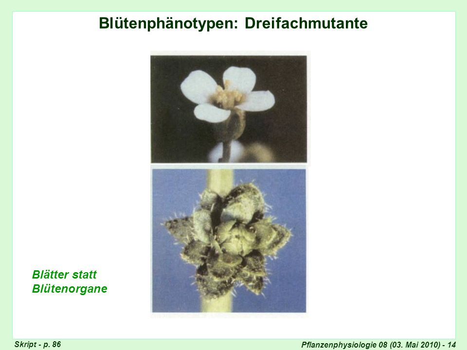 Pflanzenphysiologie 08 (03. Mai 2010) - 14 Blütenphänotypen: Dreifachmutante Blätter statt Blütenorgane Dreifach-Mutante Skript - p. 86