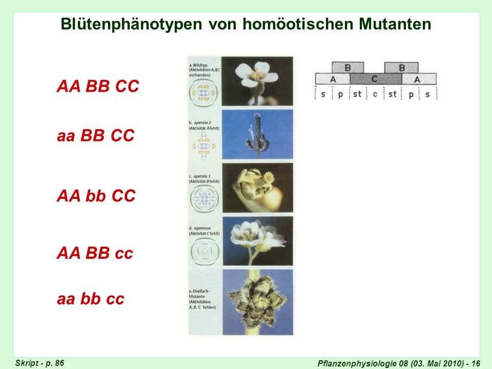 Pflanzenphysiologie 08 (03. Mai 2010) - 16 Blütenphänotypen von homöotischen Mutanten AA BB CC aa BB CC AA bb CC AA BB cc aa bb cc Genetische Erklärun