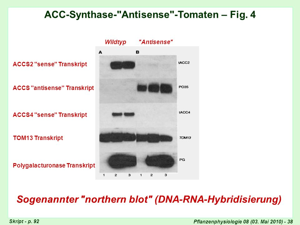 Pflanzenphysiologie 08 (03. Mai 2010) - 38 ACC-Synthase-