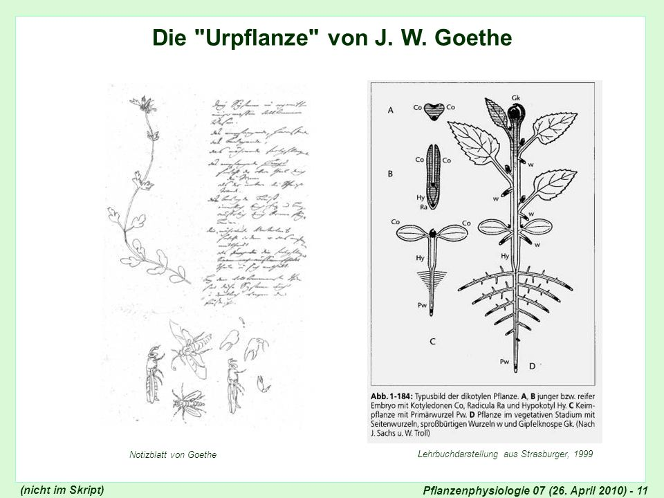 Pflanzenphysiologie 07 (26. April 2010) - 11 Die