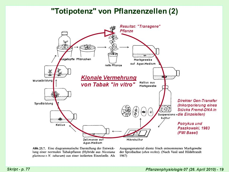 Pflanzenphysiologie 07 (26. April 2010) - 19 Direkter Gen-Transfer (Inkorporierung eines Stücks Fremd-DNA in die Einzelellen) Potrykus und Paszkowski,