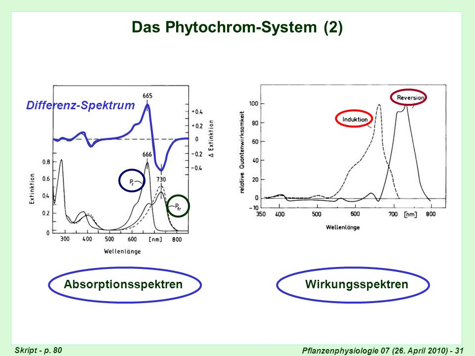Pflanzenphysiologie 07 (26. April 2010) - 31 Das Phytochrom-System (2) Absorptionsspektren Wirkungsspektren Differenz-Spektrum Phytochrom-System 2 Skr