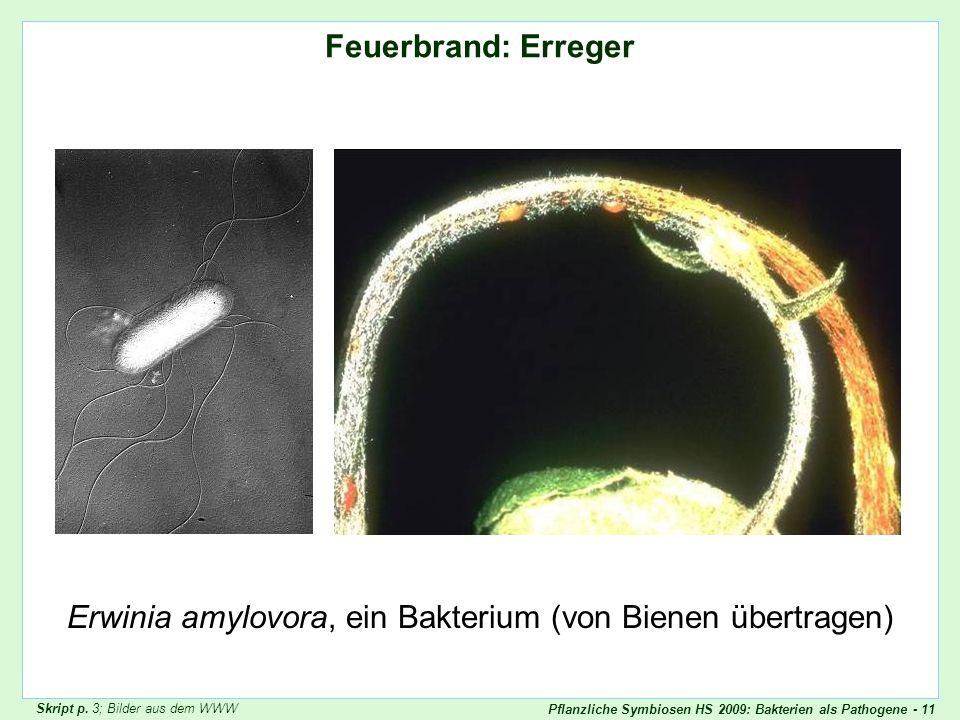 Pflanzliche Symbiosen HS 2009: Bakterien als Pathogene - 11 Feuerbrand: Erreger Erwinia amylovora, ein Bakterium (von Bienen übertragen) Feuerbrand 1