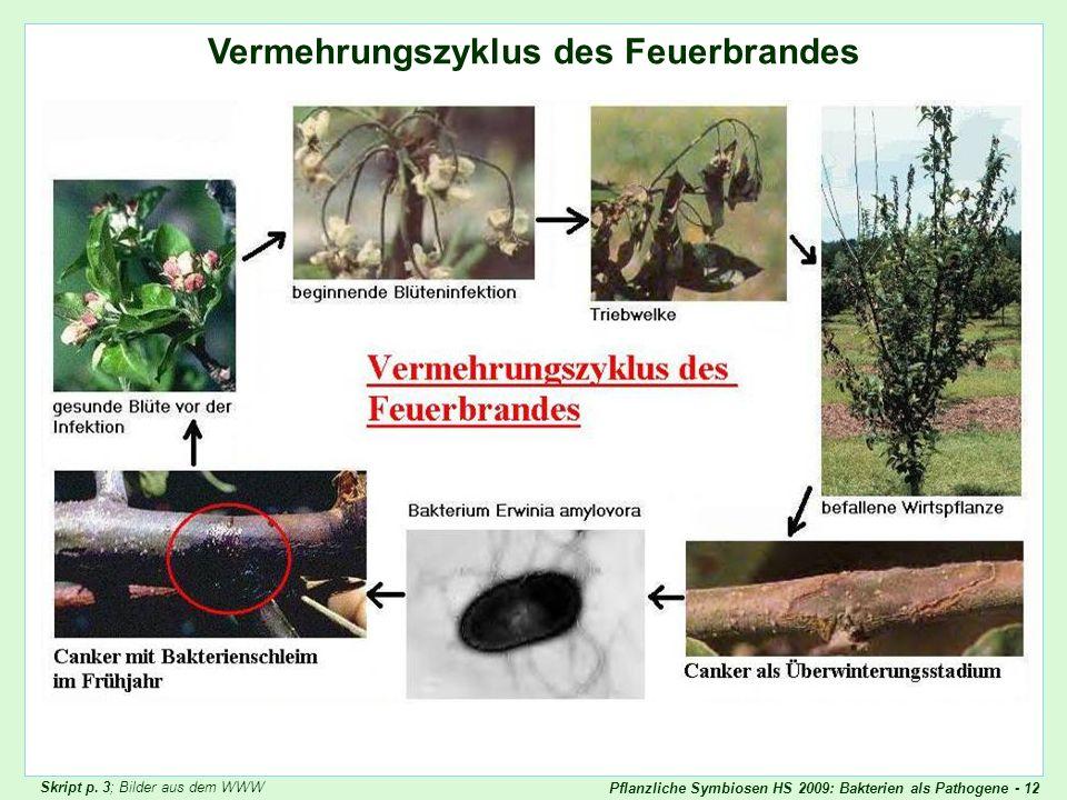 Pflanzliche Symbiosen HS 2009: Bakterien als Pathogene - 12 Vermehrungszyklus des Feuerbrandes Feuerbrand 1 Skript p. 3; Bilder aus dem WWW