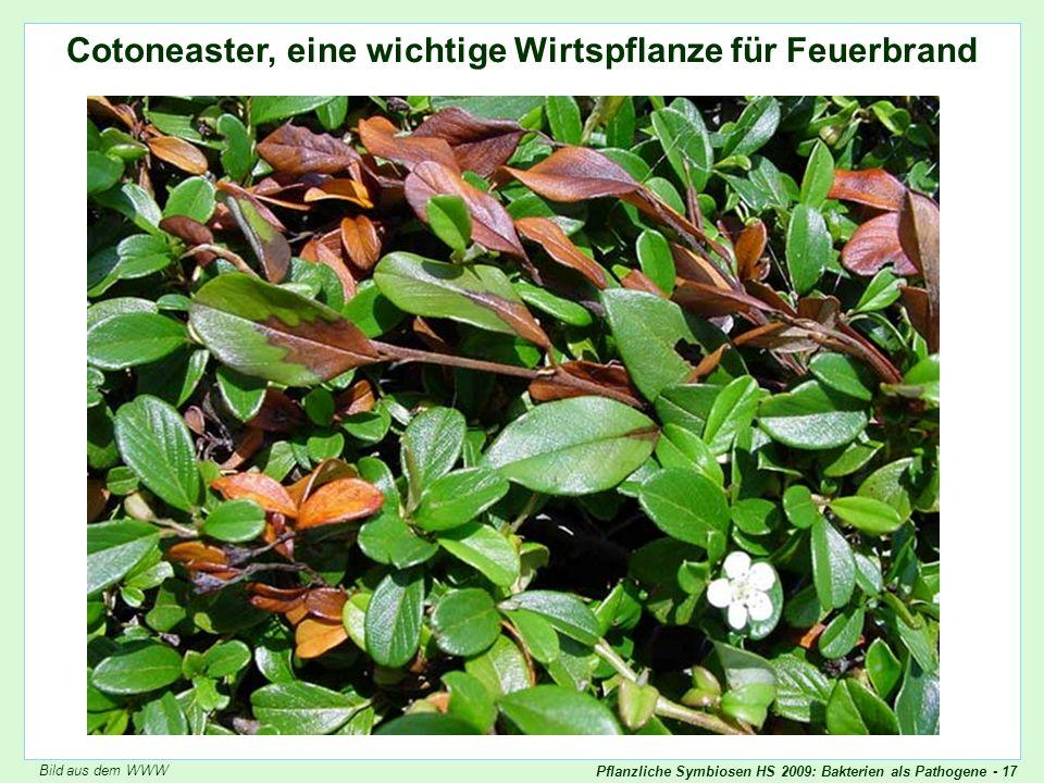 Pflanzliche Symbiosen HS 2009: Bakterien als Pathogene - 17 Cotoneaster befallene Pflanze Cotoneaster, eine wichtige Wirtspflanze für Feuerbrand Bild