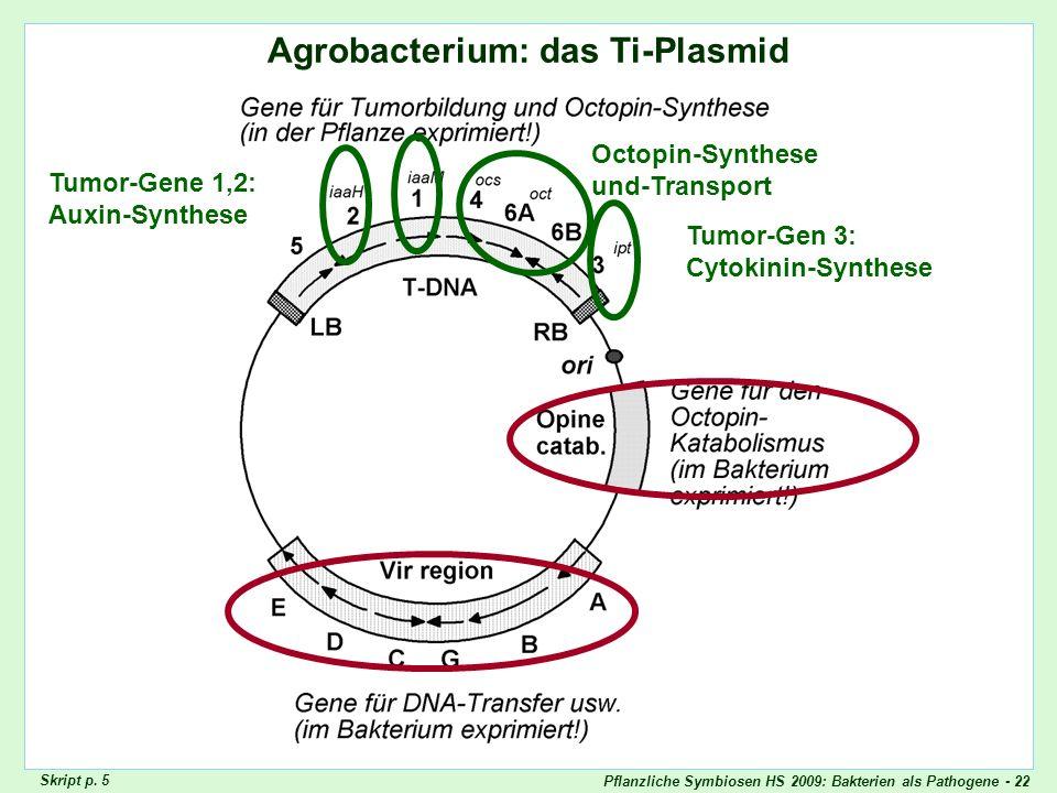 Pflanzliche Symbiosen HS 2009: Bakterien als Pathogene - 22 Agrobacterium: das Ti-Plasmid Agrobacterium: Ti-Plasmid Tumor-Gene 1,2: Auxin-Synthese Tum