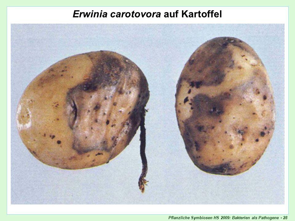 Pflanzliche Symbiosen HS 2009: Bakterien als Pathogene - 28 Erwinia carotovora auf Kartoffel Erwinia_carotovora_Kartoffel