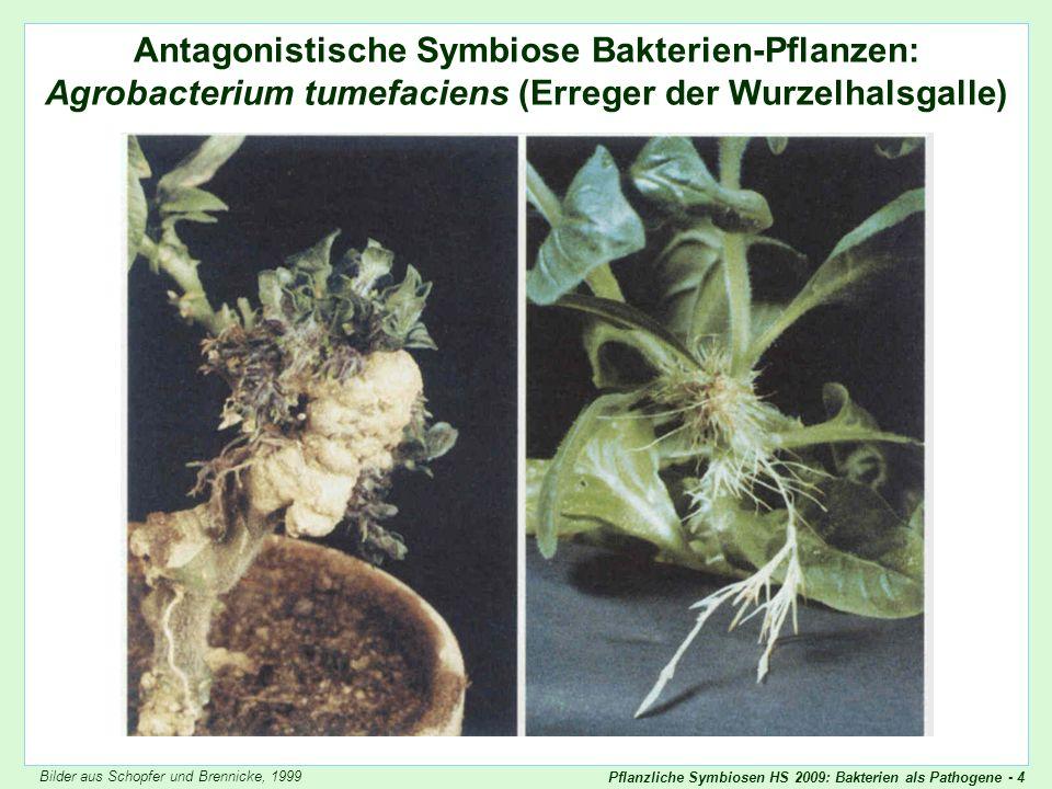 Pflanzliche Symbiosen HS 2009: Bakterien als Pathogene - 4 Antagonistische Symbiose Bakterien-Pflanzen: Agrobacterium tumefaciens (Erreger der Wurzelh