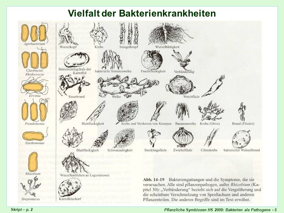 Pflanzliche Symbiosen HS 2009: Bakterien als Pathogene - 5 Vielfalt der Bakterienkrankheiten Skript – p. 2