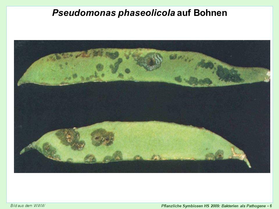 Pflanzliche Symbiosen HS 2009: Bakterien als Pathogene - 6 Pseudomonas phaseolicola Pseudomonas phaseolicola auf Bohnen Bild aus dem WWW