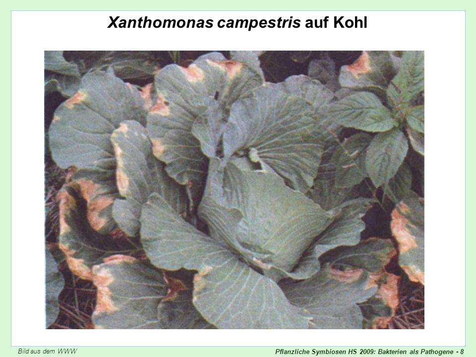 Pflanzliche Symbiosen HS 2009: Bakterien als Pathogene - 39 Beispiel: Pectolytische Enzyme von Erwinia chrysanthemi Beispiel: pectolytische Enzyme Sind die pectolytischen Enzyme kausal für die Krankheit wichtig? Enthält das kranke Gewebe pectolytische Enzyme.
