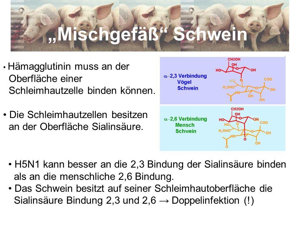 Hämagglutinin muss an der Oberfläche einer Schleimhautzelle binden können. Die Schleimhautzellen besitzen an der Oberfläche Sialinsäure. Mischgefäß Sc