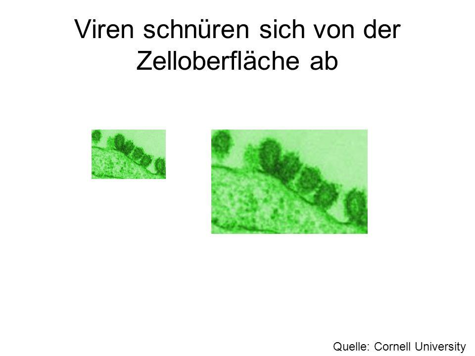 Viren schnüren sich von der Zelloberfläche ab Quelle: Cornell University