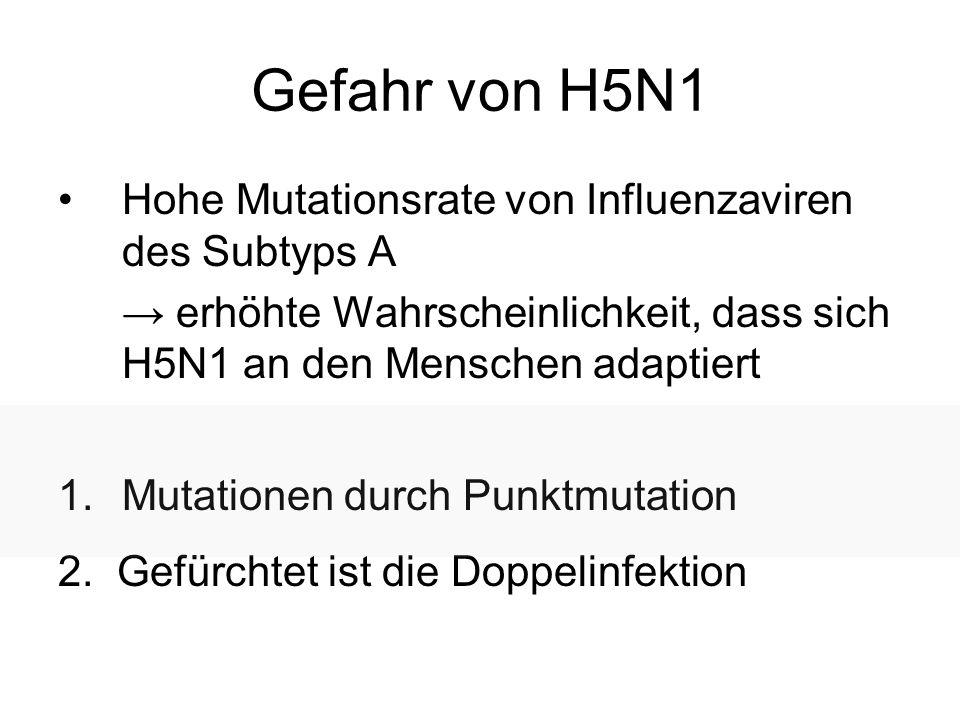 Gefahr von H5N1 Hohe Mutationsrate von Influenzaviren des Subtyps A erhöhte Wahrscheinlichkeit, dass sich H5N1 an den Menschen adaptiert 1.Mutationen