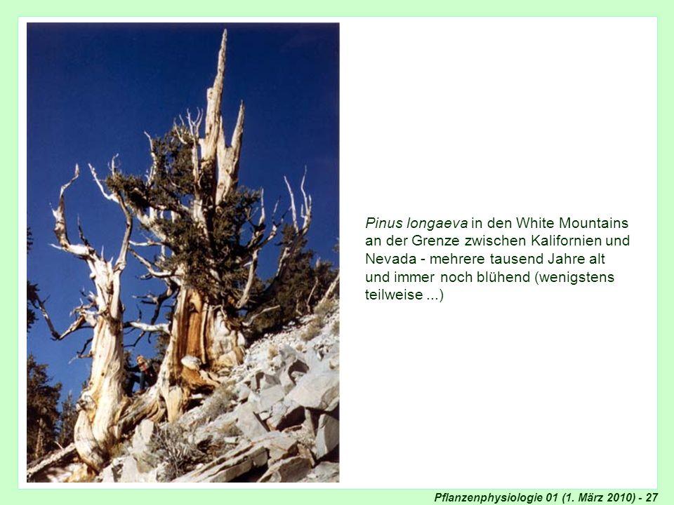 Pflanzenphysiologie 01 (1. März 2010) - 27 Pinus longaeva in den White Mountains an der Grenze zwischen Kalifornien und Nevada - mehrere tausend Jahre