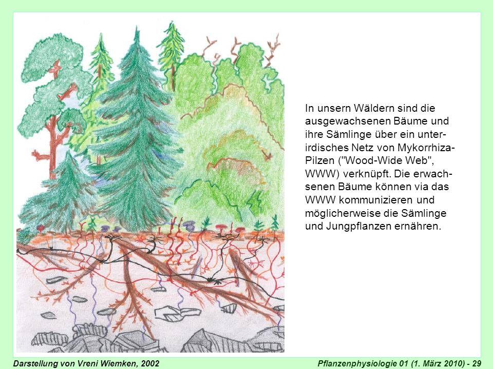 Pflanzenphysiologie 01 (1. März 2010) - 29 In unsern Wäldern sind die ausgewachsenen Bäume und ihre Sämlinge über ein unter- irdisches Netz von Mykorr