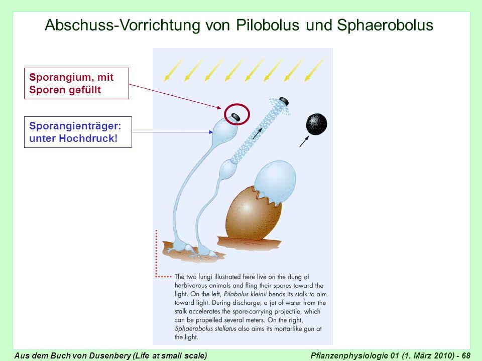 Pflanzenphysiologie 01 (1. März 2010) - 68 Pilobolus, Schema Sporangium, mit Sporen gefüllt Sporangienträger: unter Hochdruck! Abschuss-Vorrichtung vo