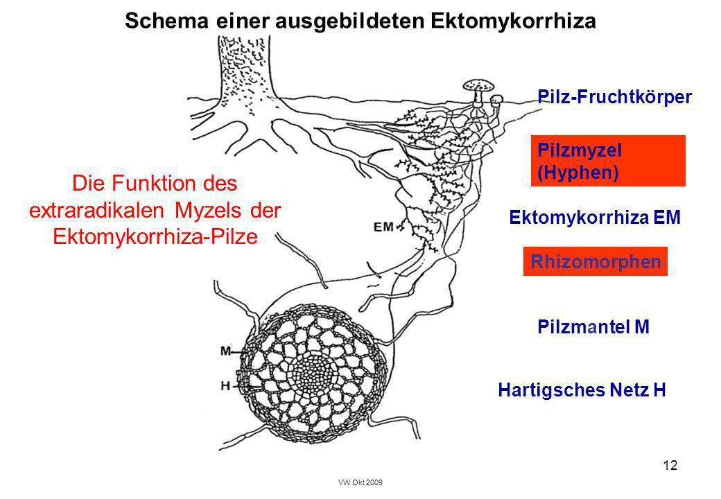 VW Okt 2009 12 Schema einer ausgebildeten Ektomykorrhiza Hartigsches Netz H Pilzmyzel (Hyphen) Pilz-Fruchtkörper Pilzmantel M Ektomykorrhiza EM Rhizom