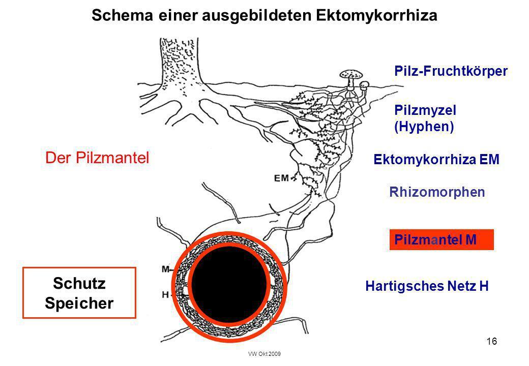 VW Okt 2009 16 Schema einer ausgebildeten Ektomykorrhiza Hartigsches Netz H Pilzmyzel (Hyphen) Pilz-Fruchtkörper Pilzmantel M Ektomykorrhiza EM Rhizom