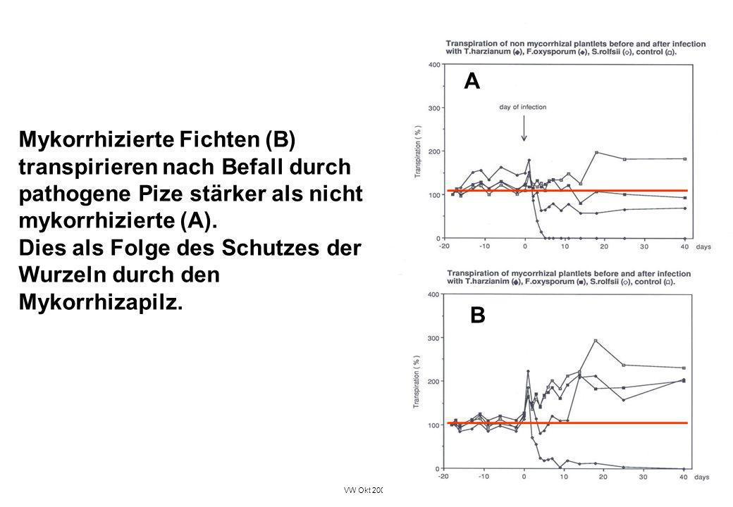 VW Okt 2009 17 Mykorrhizierte Fichten (B) transpirieren nach Befall durch pathogene Pize stärker als nicht mykorrhizierte (A). Dies als Folge des Schu
