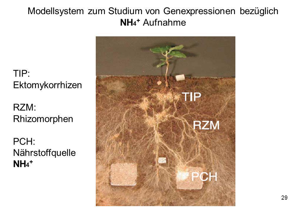 VW Okt 2009 29 Modellsystem zum Studium von Genexpressionen bezüglich NH 4 + Aufnahme TIP: Ektomykorrhizen RZM: Rhizomorphen PCH: Nährstoffquelle NH 4
