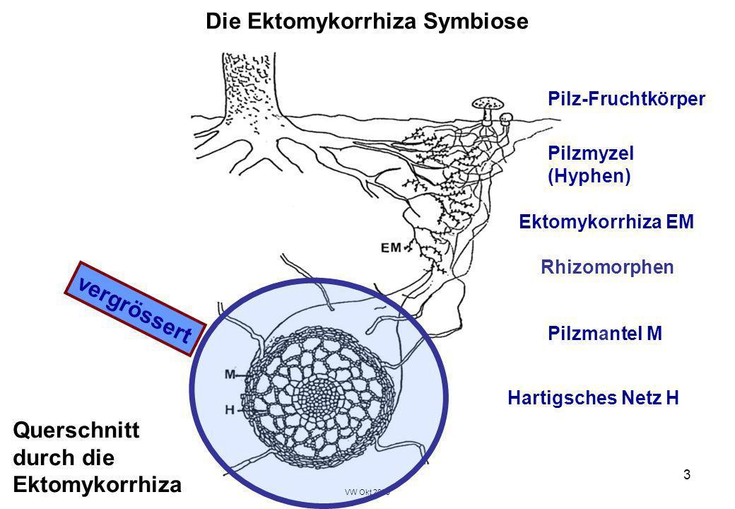 VW Okt 2009 3 Die Ektomykorrhiza Symbiose Hartigsches Netz H Pilzmyzel (Hyphen) Pilz-Fruchtkörper Pilzmantel M Ektomykorrhiza EM vergrössert Rhizomorp
