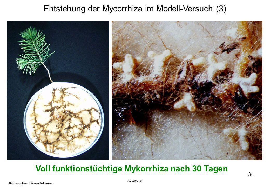 VW Okt 2009 34 Entstehung der Mycorrhiza im Modell-Versuch (3) Photographien: Verena Wiemken Voll funktionstüchtige Mykorrhiza nach 30 Tagen