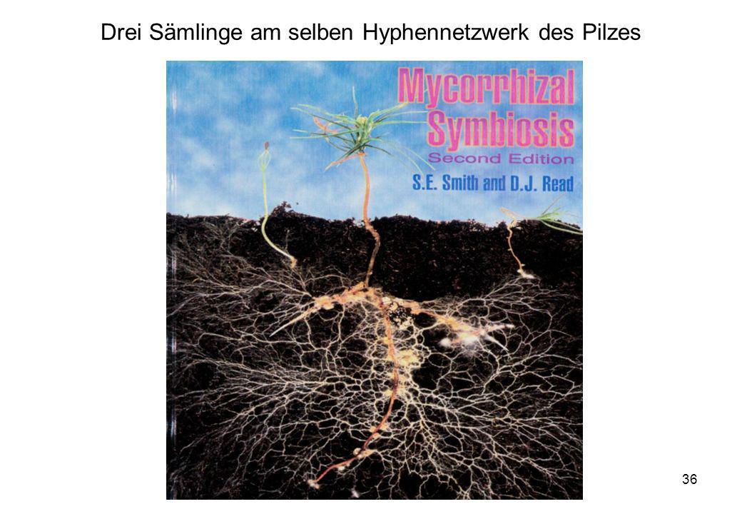 VW Okt 2009 36 Drei Sämlinge am selben Hyphennetzwerk des Pilzes