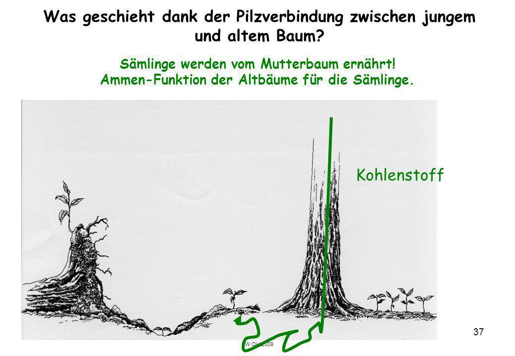 VW Okt 2009 37 Was geschieht dank der Pilzverbindung zwischen jungem und altem Baum? Sämlinge werden vom Mutterbaum ernährt! Ammen-Funktion der Altbäu