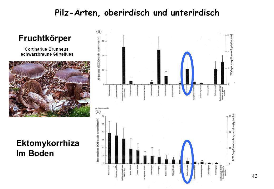 VW Okt 2009 43 Fruchtkörper Ektomykorrhiza Im Boden Pilz-Arten, oberirdisch und unterirdisch Cortinarius Brunneus, schwarzbraune Gürtelfuss