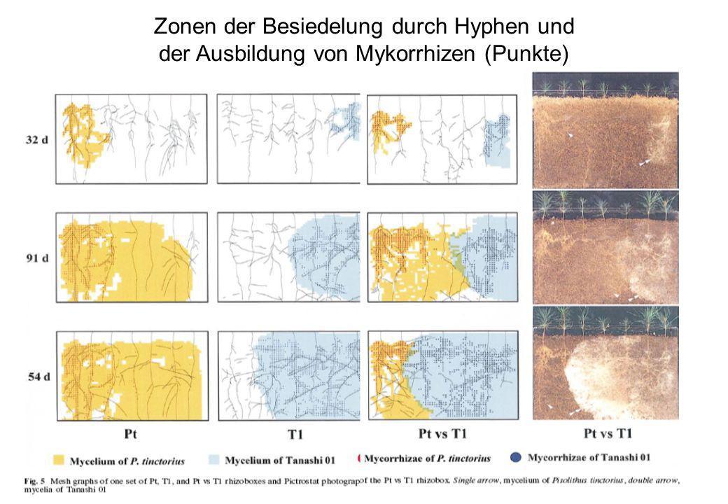 VW Okt 2009 53 Zonen der Besiedelung durch Hyphen und der Ausbildung von Mykorrhizen (Punkte)