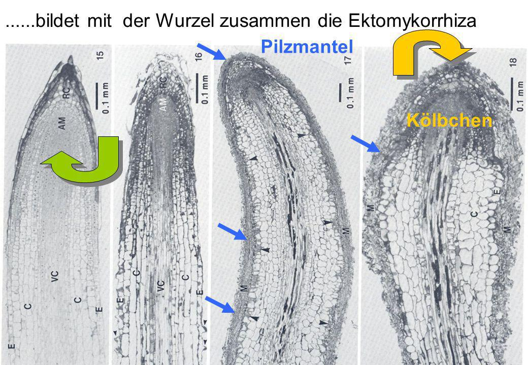 VW Okt 2009 8......bildet mit der Wurzel zusammen die Ektomykorrhiza Pilzmantel Kölbchen