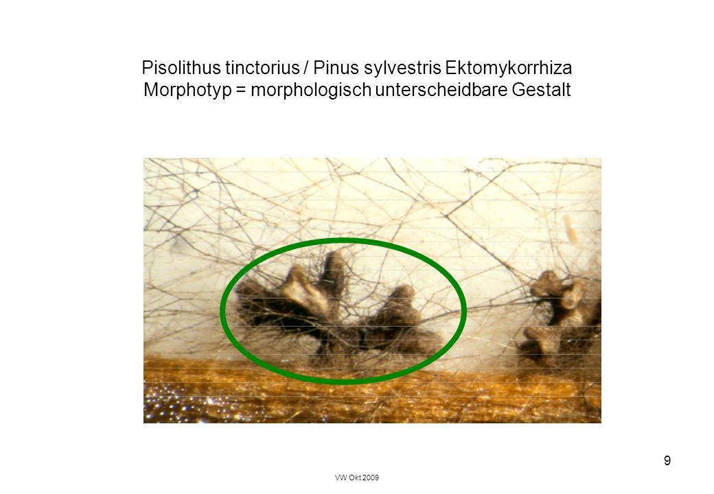 VW Okt 2009 9 Pisolithus tinctorius / Pinus sylvestris Ektomykorrhiza Morphotyp = morphologisch unterscheidbare Gestalt
