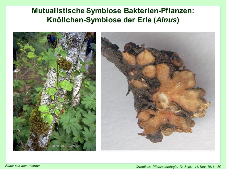 Grundkurs Pflanzenbiologie, 12. Sept. - 11. Nov. 2011 - 25 Mutualistische Symbiose Bakterien-Pflanzen: Knöllchen-Symbiose der Erle (Alnus) Bilder aus
