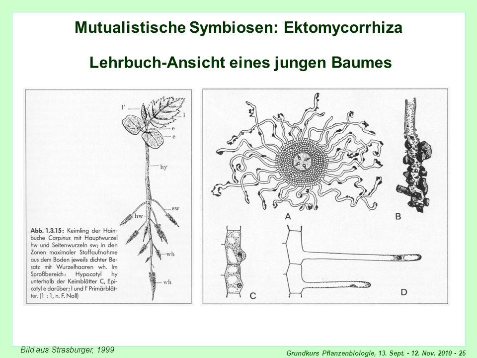 Grundkurs Pflanzenbiologie, 13. Sept. - 12. Nov. 2010 - 25 Mutualistische Symbiosen: Ektomycorrhiza Lehrbuch-Ansicht eines jungen Baumes Bild aus Stra