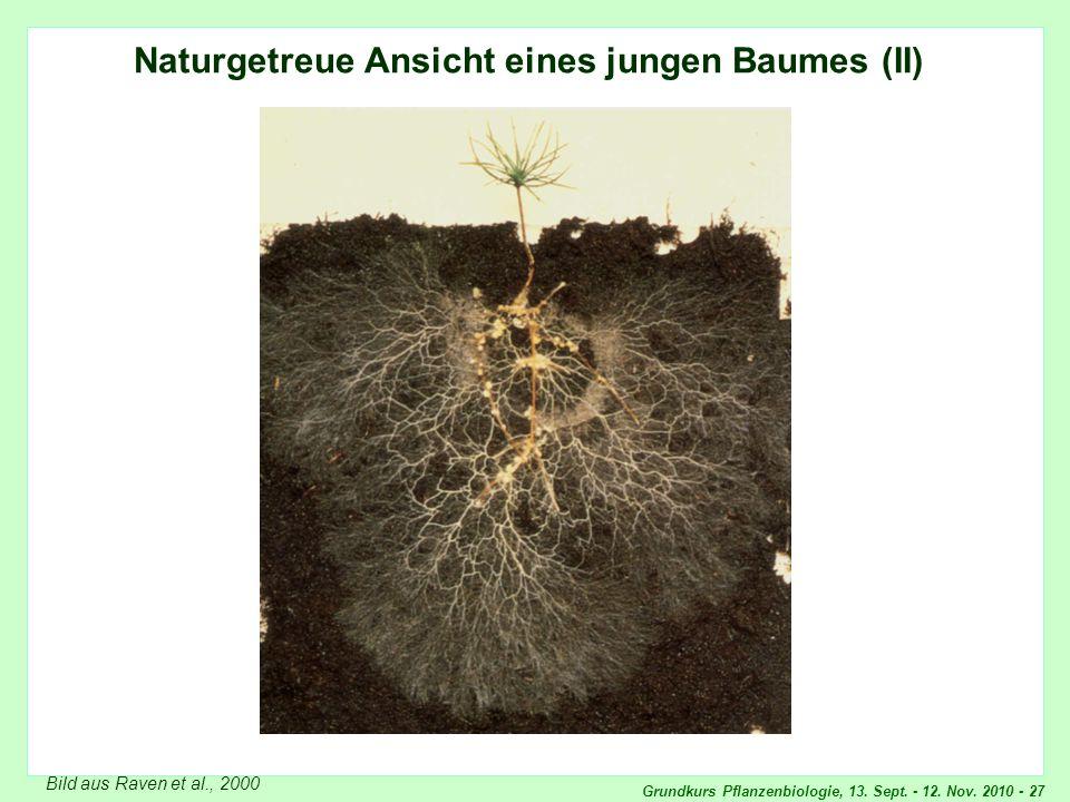 Grundkurs Pflanzenbiologie, 13. Sept. - 12. Nov. 2010 - 27 Naturgetreue Ansicht eines jungen Baumes (II) Bild aus Raven et al., 2000 Naturgetreue Ansi