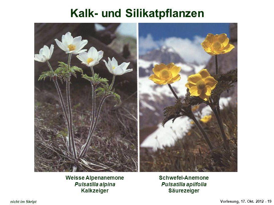 Vorlesung, 17. Okt. 2012 - 19 Kalk- und Silikatpflanzen Weisse Alpenanemone Pulsatilla alpina Kalkzeiger Schwefel-Anemone Pulsatilla apiifolia Säureze