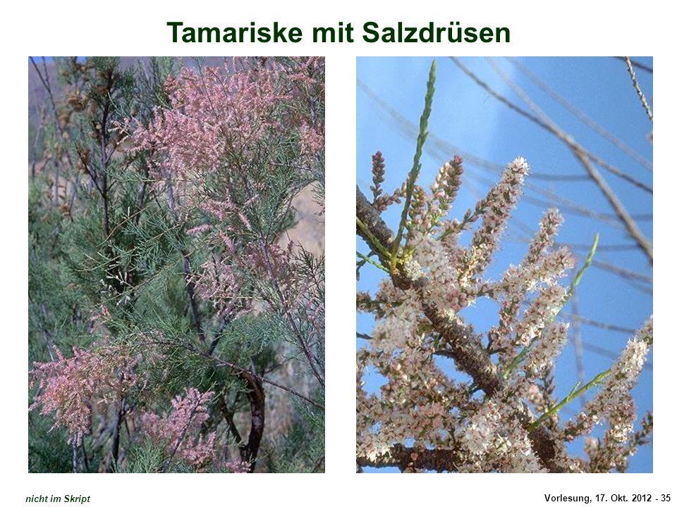 Vorlesung, 17. Okt. 2012 - 35 Tamariske mit Salzdrüsen Tamariske: Salzdrüsen nicht im Skript