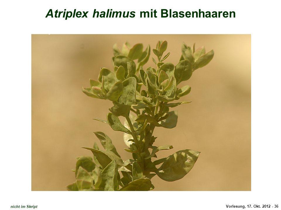 Vorlesung, 17. Okt. 2012 - 36 Atriplex halimus mit Blasenhaaren Atriplex: Habitus nicht im Skript