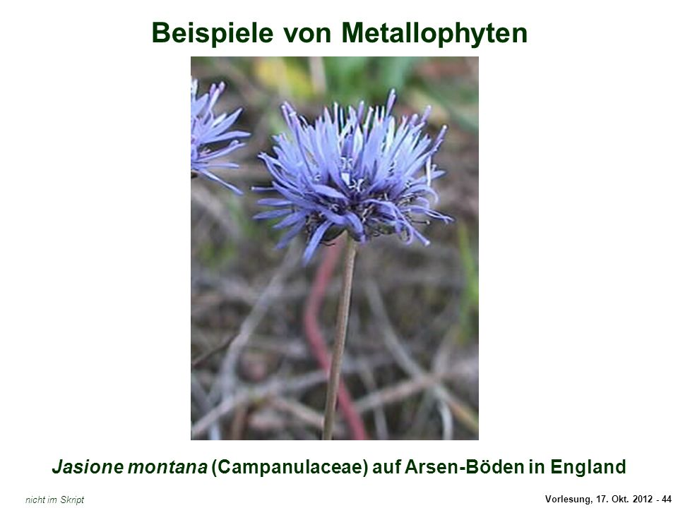 Vorlesung, 17. Okt. 2012 - 44 Beispiele von Metallophyten Jasione montana (Campanulaceae) auf Arsen-Böden in England Jasione montana (Arsen-Hyperakkum
