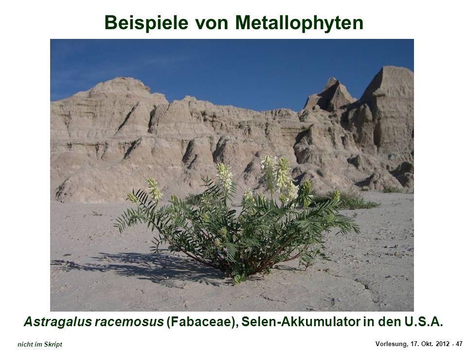 Vorlesung, 17. Okt. 2012 - 47 Beispiele von Metallophyten Astragalus racemosus (Fabaceae), Selen-Akkumulator in den U.S.A. Astragalus racemosus (Selen