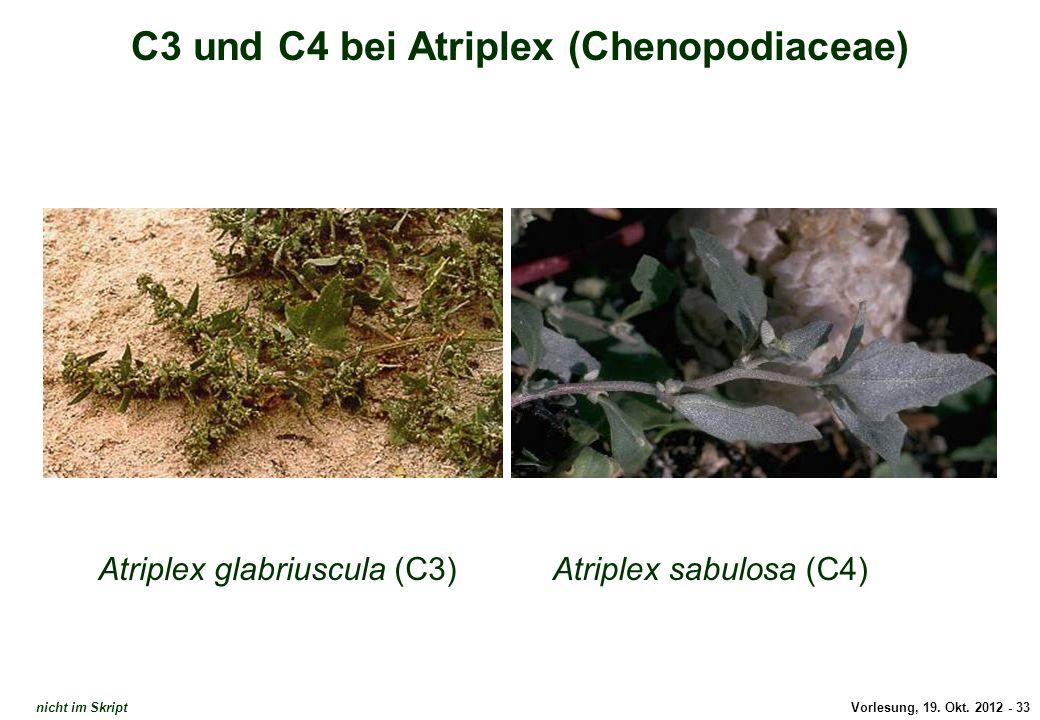 Vorlesung, 19. Okt. 2012 - 33 C3 und C4 bei Atriplex (Chenopodiaceae) Atriplex glabriuscula (C3)Atriplex sabulosa (C4) C3 und C4 bei Atriplex nicht im