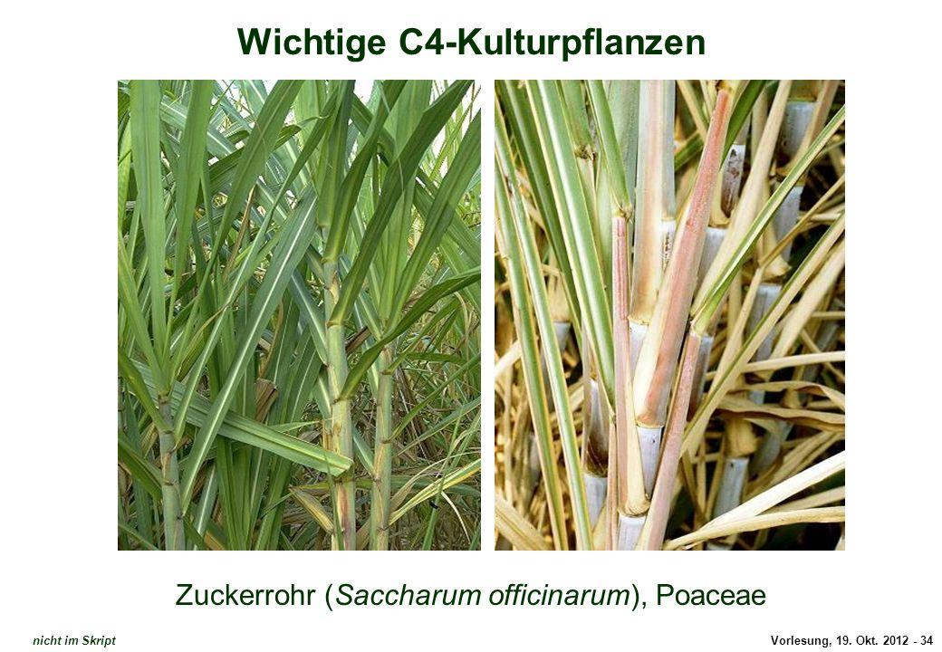 Vorlesung, 19. Okt. 2012 - 34 Wichtige C4-Kulturpflanzen Zuckerrohr (Saccharum officinarum), Poaceae Zuckerrohr (1) nicht im Skript